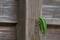 [アオマツムシ][マツムシ科][青松虫][マツムシ][北野寺]