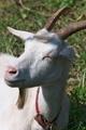 [ヤギ][山羊][白やぎ][白ヤギ][白山羊]ヤギ