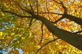 [トチノキ][トチノキ科][栃の木][黄葉][黄色い葉]トチノキ
