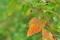 [ソバ畑][休耕田][タデ科][秋そば][赤い葉]