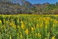 [セイタカアワダチソウ][キク科][群生][妙義山][黄色い花]セイタカアワダチソウ