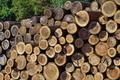 [伐採木][スギ][杉材][スギ林][杉林]伐採木