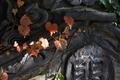 [ツタ][ブドウ科][蔦][蔦屋敷][赤い葉]ツタ