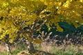 [銀杏畑][銀杏][ギンナン畑][ギンナン][イチョウ]銀杏畑