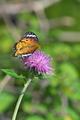 [ツマグロヒョウモン][タテハチョウ科][ノハラアザミ][アザミ][紫色の花]ツマグロヒョウモン