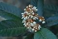 [ビワ][バラ科][枇杷][花枇杷][白い花]ビワ