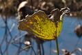 [ハス池][ハス][蓮池][蓮][黄色い葉]ハス池