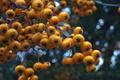 [タチバナモドキ][バラ科][ピラカンサ][トキワサンザシ][黄色い実]タチバナモドキ