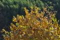 [蝋梅][ロウバイ][ロウバイ科][琵琶ノ久保][黄色い葉]蝋梅