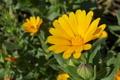 [ヒメキンセンカ][キク科][フユシラズ][カレンジュラ][黄色い花]ヒメキンセンカ