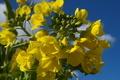 [菜の花][アブラナ科][土手][畦道][黄色い花]菜の花