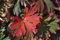 [アメリカフウロ][フウロソウ科][帰化植物][赤い葉][中野谷]アメリカフウロ