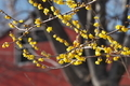 [ロウバイ][ロウバイ科][蝋梅][ケヤキ][黄色い花]ロウバイ