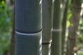 [竹やぶ][竹藪][竹林][モウソウチク][妙義神社]竹やぶ
