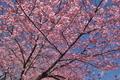 [桜][サクラ][カワヅザクラ][河津桜][原]桜