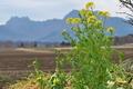 [コンニャク畑][蒟蒻畑][菜の花][妙義山][人見]コンニャク畑