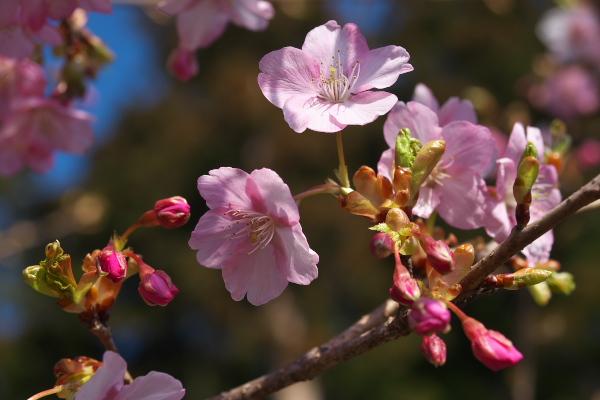 [桜][サクラ][カワヅザクラ][川津桜][妙義神社]