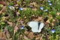 [モンシロチョウ][シロチョウ科][ナヅナ][オオイヌノフグリ][白い蝶]モンシロチョウ