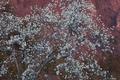 [コブシ][モクレン科][赤妙義][白い花][妙義地区]コブシ