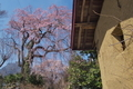 [桜][サクラ][しだれ桜][蔵][妙義山]桜