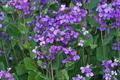 [オオアラセイトウ][アブラナ科][ムラサキハナナ][ショカツサイ][紫色の花]オオアラセイトウ