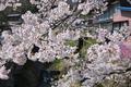 [桜][サクラ][山間][高田川][川後石]桜