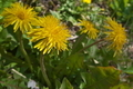 [カントウタンポポ][キク科][セイヨウタンポポ][ダンデライオン][黄色い花]カントウタンポポ