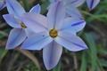 [ハナニラ][ヒガンバナ科][花韮][南米産][青い花]ハナニラ