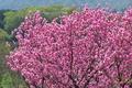 [桃][モモ][バラ科][花桃][ピンク色の花]桃