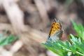 [ベニシジミ][シジミチョウ科][シジミチョウ][野原][赤いチョウ]ベニシジミ