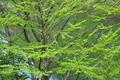 [カツラ][カツラ科][丸い葉][新緑][湖畔]カツラ