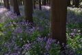 [オオアラセイトウ][アブラナ科][ムラサキハナナ][榎下神社][紫色の花]オオアラセイトウ