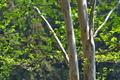 [ナツツバキ][ツバキ科][夏椿][シャラノキ][新緑]ナツツバキ