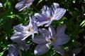 [クレマチス][キンポウゲ科][クレマチス属][テッセン][紫色の花]クレマチス