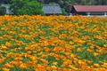 [カリフォルニアポピー][ケシ科][ハナビシソウ][ポピー][オレンジ色の花]カリフォルニアポピー