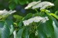 [ミズキ][ミズキ科][水木][山道][白い花]ミズキ