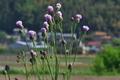 [キツネアザミ][キク科][アザミ][薊][紫色の花]キツネアザミ