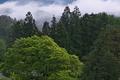 [深まる緑][ウラジロガシ][スギ林][朝霧][妙義神社]深まる緑