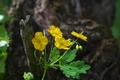 [クサノオウ][ケシ科][草の黄][草の王][黄色い花]クサノオウ