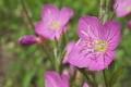 [ユウゲショウ][アカバナ科][夕化粧][空き地][ピンク色の花]ユウゲショウ