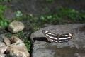 [コミスジ][タテハチョウ科][ミスジチョウ][手水舎][妙義神社]コミスジ