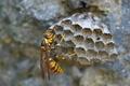 [キアシナガバチ][スズメバチ科][アシナガバチ][女王バチ][蜂の巣]キアシナガバチ