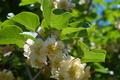 [キウイフルーツ畑][キウイフルーツ][キウイ][マタタビ科][白い花]キウイフルーツ畑