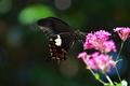 [モンキアゲハ][アゲハチョウ科][黒いチョウ][ムシトリナデシコ][ピンク色の花]モンキアゲハ