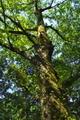 [ケヤキ][ニレ科][欅][巨樹][大木]ケヤキ