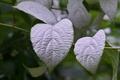 [白い葉と花][マタタビ][マタタビ科][白い葉][妙義神社]白い葉と花