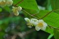 [白い葉と花][マタタビ][マタタビ科][白い花][妙義神社]白い葉と花