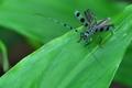 [ルリボシカミキリ][カミキリムシ科][カミキリムシ][青い虫][ミョウガ]ルリボシカミキリ