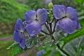 [紫陽花][アジサイ][あじさい][青い花][妙義神社]紫陽花