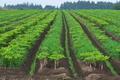 [コンニャク畑][蒟蒻畑][こんにゃく畑][蒟蒻][こんにゃく]コンニャク畑